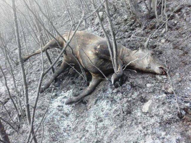 animali bruciati vivi negli incendi sulle montagne